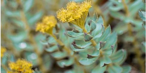 Rhodiola Rosea (fonte Pixabay - monicore)